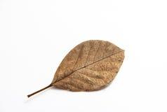 烘干在白色背景的叶子 库存照片