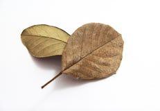 烘干在白色背景的叶子 图库摄影