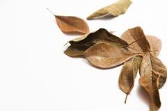 烘干在白色背景的叶子 免版税图库摄影