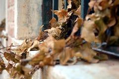 烘干在罐的叶子在一个浪漫窗口在威尼斯 免版税库存图片
