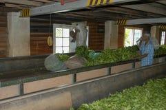 烘干在茶工厂里面的工作者茶在康提附近 免版税图库摄影