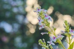 烘干在阳光下在坚硬雨以后的一个美好的小组白色和桃红色花在一个豪华的泰国庭院里 库存图片