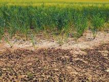 烘干在麦田的角落的破裂的黏土 多灰尘的深镇压和枯萎的花 库存图片