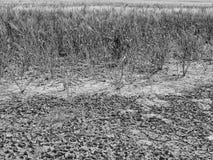 烘干在麦田的角落的破裂的黏土 多灰尘的深镇压和枯萎的花 免版税库存图片
