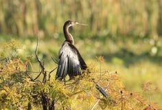 烘干它的美洲蛇鸟是在秋天色的池柏树的翼 免版税图库摄影