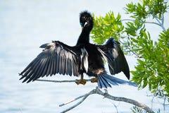 烘干它的美洲蛇鸟` s翼 免版税库存图片