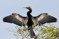 烘干它的羽毛的美洲蛇鸟 库存照片
