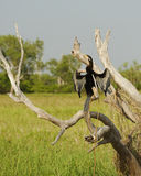烘干它的翼,卡卡杜国家公园, Australi的伟大的鸬鹚 库存图片