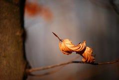 烘干山毛榉叶子  库存图片