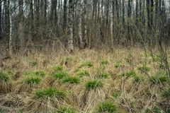 烘干春天沼泽 有年轻绿草扇贝的干燥小丘以桦树树丛为背景的 免版税库存图片