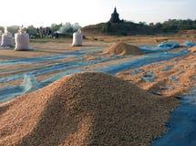 烘干最近被收获的米在阳光下 免版税库存照片