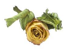烘干玫瑰色与叶子 库存图片