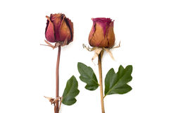 烘干玫瑰色和绿色瓣被隔绝的白色 免版税库存照片