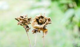 烘干玫瑰色在树 免版税库存图片