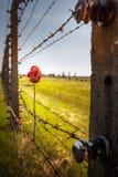 烘干玫瑰色在铁丝网篱芭 库存照片