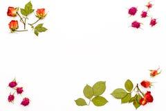 烘干玫瑰色花和分支与叶子在角落在白色背景 花框架与空的空间的文本的 平的la 免版税库存照片