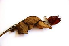 烘干玫瑰色 免版税库存照片