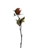 烘干玫瑰色 免版税库存图片