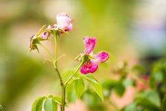 烘干的玫瑰,随着时间的推移枯萎 库存照片