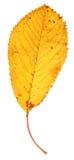 烘干秋天叶子 库存图片