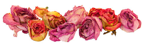 烘干精美玫瑰色在白色隔绝的花和叶子 库存图片