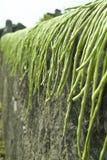 烘干绿色长的豆 库存图片