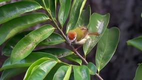 烘干羽毛的黑暗收缩的长尾缝叶鸟Orthotomus atrogularis在雨以后