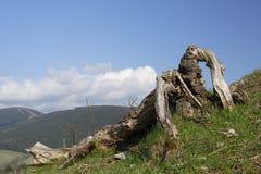烘干老结构树 图库摄影