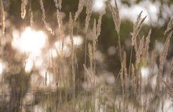 烘干草的黄色耳朵以模糊的绿色树为背景 美好的bokeh 库存图片