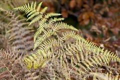 烘干蕨的叶子 免版税库存照片