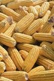 烘干被收获的玉米棒子在阳光下 库存图片