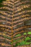 烘干被染黄的秋天蕨 免版税库存照片