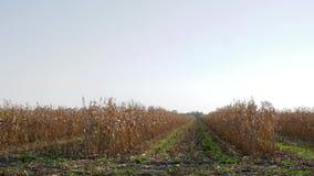 烘干麦地,从移动的汽车的看法在农田在秋天收获期间 影视素材