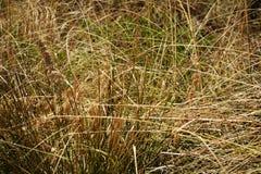 烘干黄绿色草背景和自然纹理 免版税库存照片