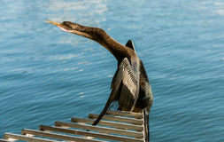 烘干他的翼的鸬鹚在湖Eola,奥兰多,佛罗里达, 库存图片