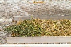 烘干Andrographis不锈钢盘子用途的paniculata植物 库存图片
