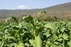 烟草农场在山腰的早晨 免版税库存图片