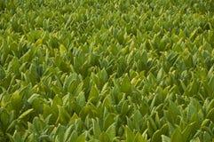 烟草农场 图库摄影