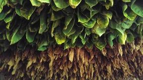 烟草叶子在古巴 库存照片