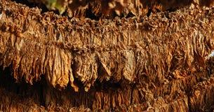 烟草叶子 库存图片