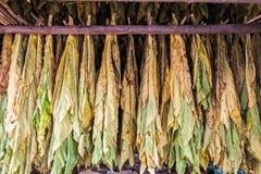 烟草在棚子把干燥留在 免版税图库摄影