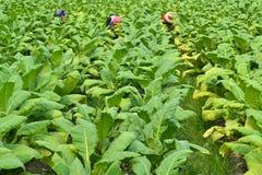 烟草植物在泰国的农场 免版税库存图片