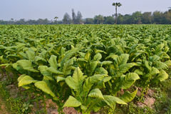 烟草植物在泰国的农场 免版税图库摄影