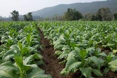 烟草植物 库存照片