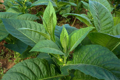 烟草植物 库存图片