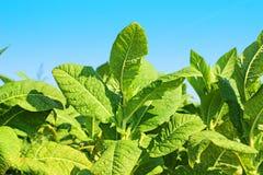 烟草植物 免版税库存照片
