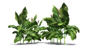 烟草植物 库存例证