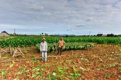 烟草田- Vinales谷,古巴 免版税库存图片