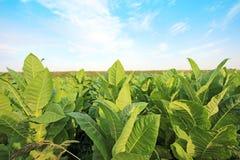 烟草种植园在波兰 免版税库存照片