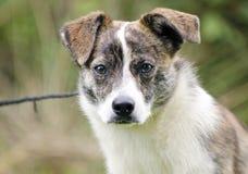 烟草花叶病和白色狐头竖耳无尾短毛小黑犬牛狗混合了品种狗 免版税库存图片